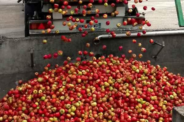 3 – Déchargement des pommes