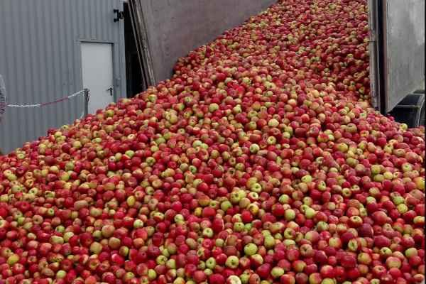 4 – Une marée de pommes